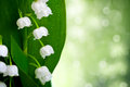 Lily of the valley flowers with water drops on green background convallaria majalis Royalty Free Stock Images