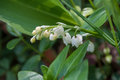 Lily of the valley in the forest Royalty Free Stock Photo