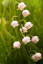 Lily of the valley on grass background Stock Photo