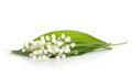 Lily of the valley isolated on white background Stock Images