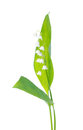 Lily of the valley isolated on white background Stock Photos
