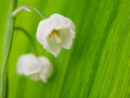 Lily of the valley macro Royalty Free Stock Photo