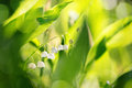 Lily of the valley with shallow focus blooming in spring and sunlight Stock Photo