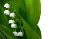 Lily of the valley with water drops isolated on white background convallaria majalis Royalty Free Stock Photo