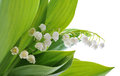 Lily of the valley on white background Stock Image