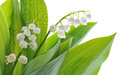 Lily of the valley on white background Stock Photos