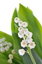 Lily of the valley on white background Stock Images