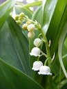 Lily of the valley white flowers on a background green leaves Stock Images
