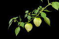 Limb of Tomatillos against Black Background Royalty Free Stock Photo