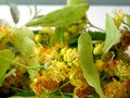 Lime Blossom or Linden blossom. yellow flower closeup Royalty Free Stock Photo