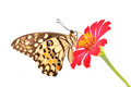 Lime butterfly on red flower Royalty Free Stock Photo