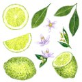 Lime clipart set with leaves and flowers. Hand drawn watercolor illustration.