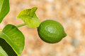 Lime fruit on a tree in the sunshine single Royalty Free Stock Photo
