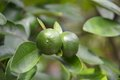 Lime fruit two green crops Royalty Free Stock Photo