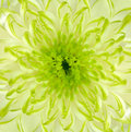 Lime Green Chrysanthemum Flower Square Backround Royalty Free Stock Images