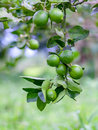 Lime tree and fresh green limes on the branch in the lime garden