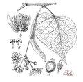 Lime tree (tilia), botanical vintage engraving Royalty Free Stock Photo
