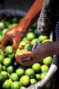 Limes- Guatemala Royalty Free Stock Photo