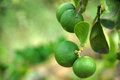 Limes hanging on the lime tree Royalty Free Stock Photo
