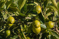 Limes ripening on lime tree Royalty Free Stock Photo