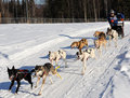 Limited North American Sled Dog Race - Alaska Royalty Free Stock Photo