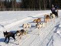 Limited North American Sled Dog Race - Alaska Stock Image
