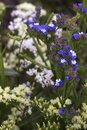 Limonium Plumbaginaceae - small white and blue summer flowers grow in the garden. Background
