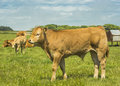 Limousin bullock a young calf Royalty Free Stock Photos