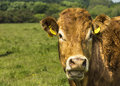 Limousin cow in green pasture Stock Photos