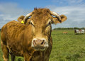 Limousin cow in green pasture Stock Photography