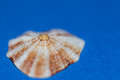 Limpet On Blue Background