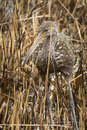 Limpkin with apple snail Royalty Free Stock Photo
