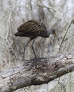 Limpkin bird walking on a tree Stock Images