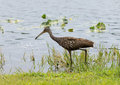 Limpkin looking for lucnh the is found mostly in wetlands in warm parts of the americas from florida to northern argentina it Stock Images