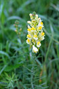 Linaria vulgaris plant flowers close up Royalty Free Stock Photos