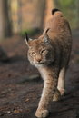 Lince di Approching Immagine Stock