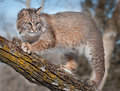 Lince rufus do lince no ramo da árvore animal prisioneiro Imagem de Stock Royalty Free
