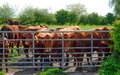 Lincoln Red cows Royalty Free Stock Photo