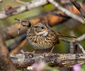 Lincoln s sparrow a perches during its autumn migration this is a medium sized that nests in wet thickets or shrubby bogs Stock Photos