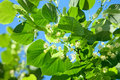 Linden blossoming in a summer garden on the sky background Royalty Free Stock Photo
