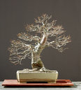 Linden bonsai Royalty Free Stock Image