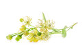 Linden flowers isolated on white background Stock Images