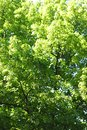 Linden tree beautiful background of at sunny day Royalty Free Stock Images
