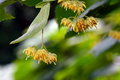 Linden tree flowers on branch Royalty Free Stock Photo