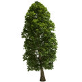Linden Tree Isolated Royalty Free Stock Photo