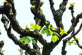 Linden-tree leaves (Tilia platyphyllos) in early spring Royalty Free Stock Photo