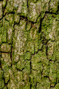 Linden tree macro with fine details textured surface in summer and high resolution Royalty Free Stock Photography