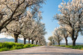 Line of cherry trees rows old in blossom Royalty Free Stock Photos