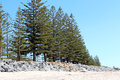 Line of Green Pine trees at Beach Royalty Free Stock Photo