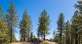 Line of Pine Trees Royalty Free Stock Photo
